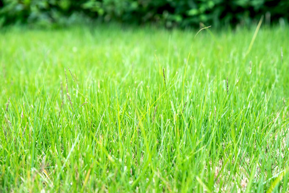 Zoysia grass with bright green and thin blades
