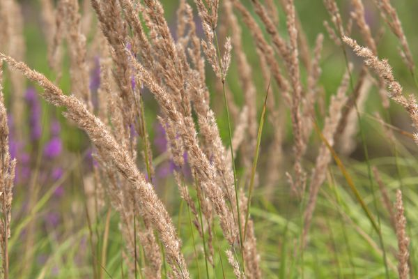 Feather reed grass blowing in wind