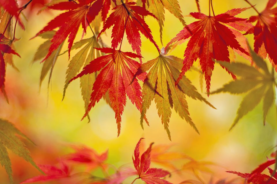 Japanese maple leaves against a golden background