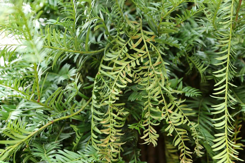 Closeup of branches of Chinese yew.