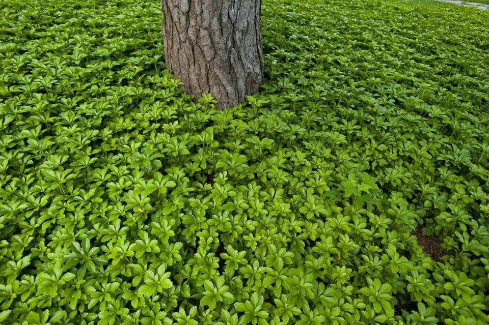 USA, Massachusetts, Newton, Pachysandra plant carpet and tree trunk