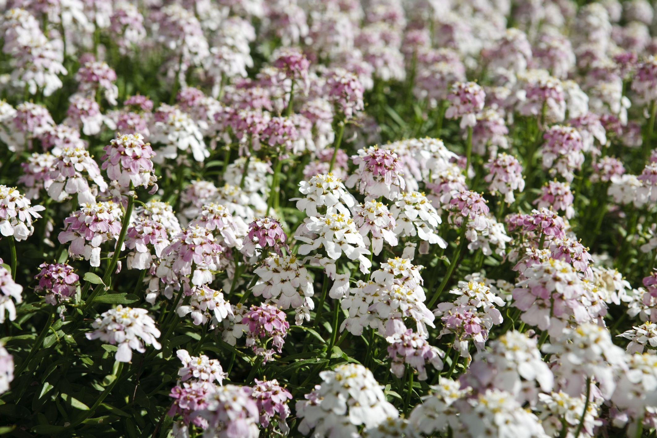 1 X PACHYSANDRA TERMINALIS VARIEGATA JAPANESE SPURGE EVERGREEN PLANT IN POT