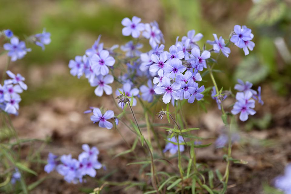 Woodland phlox with light purple petals and pink centers on thin stems