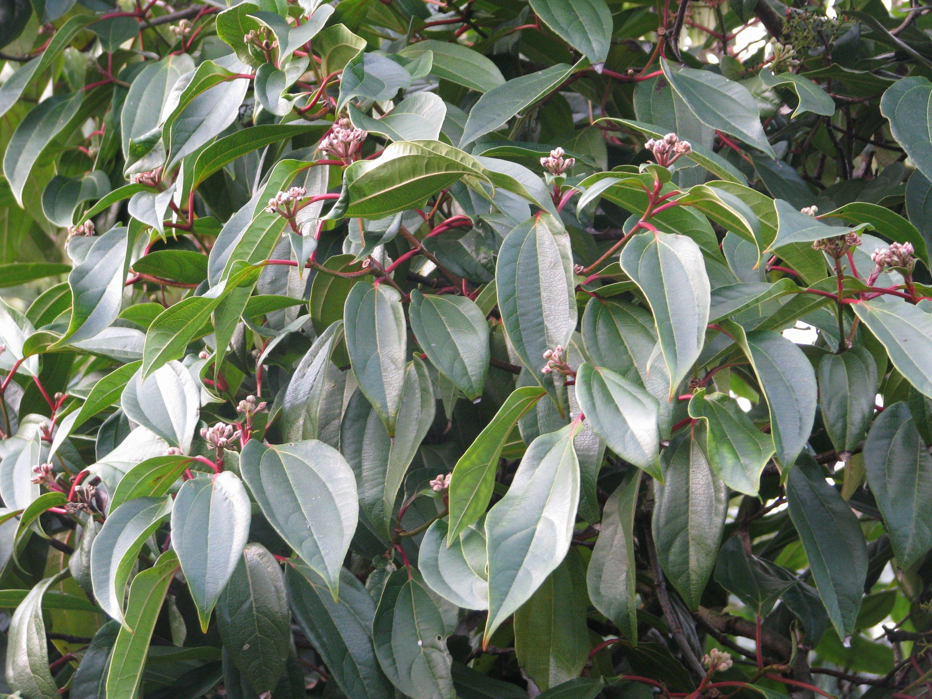 Cinnamon-leaved viburnum
