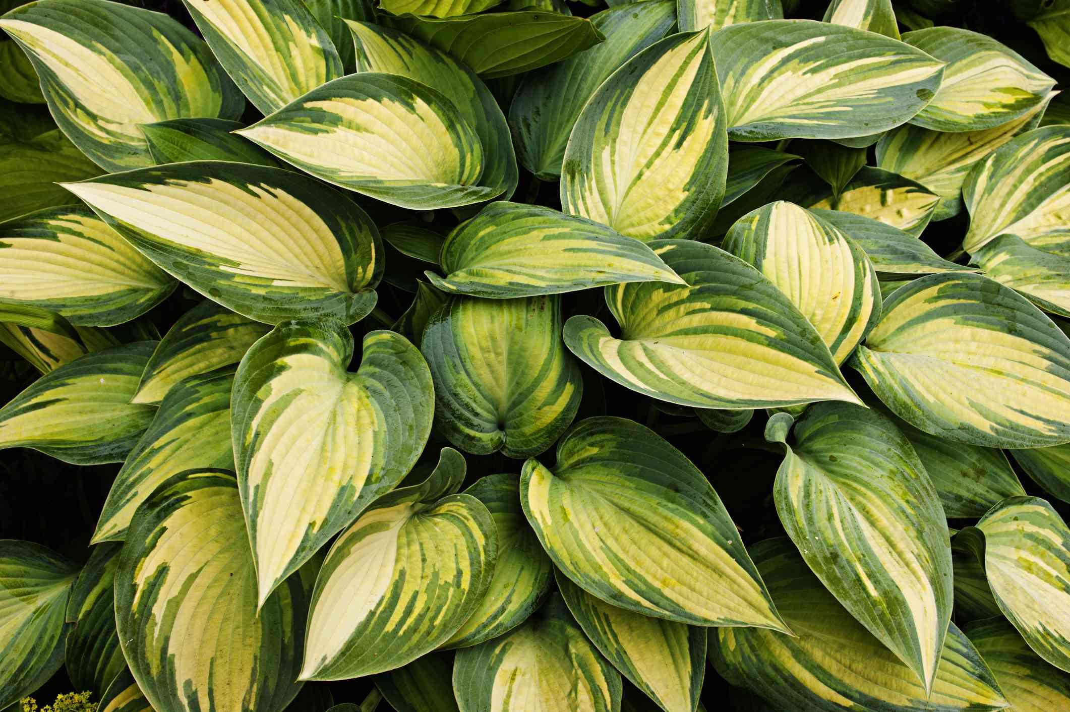 Close up of Hosta 'Remember Me' foliage