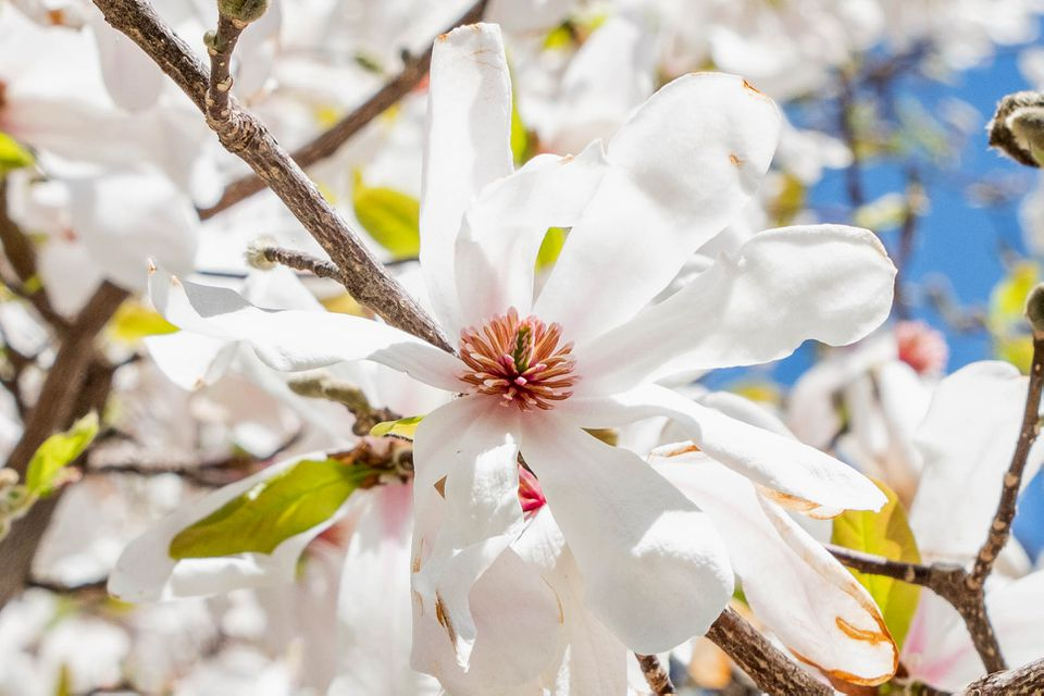 Anise magnolia tree branch with white flower tepals and pink centers closeup