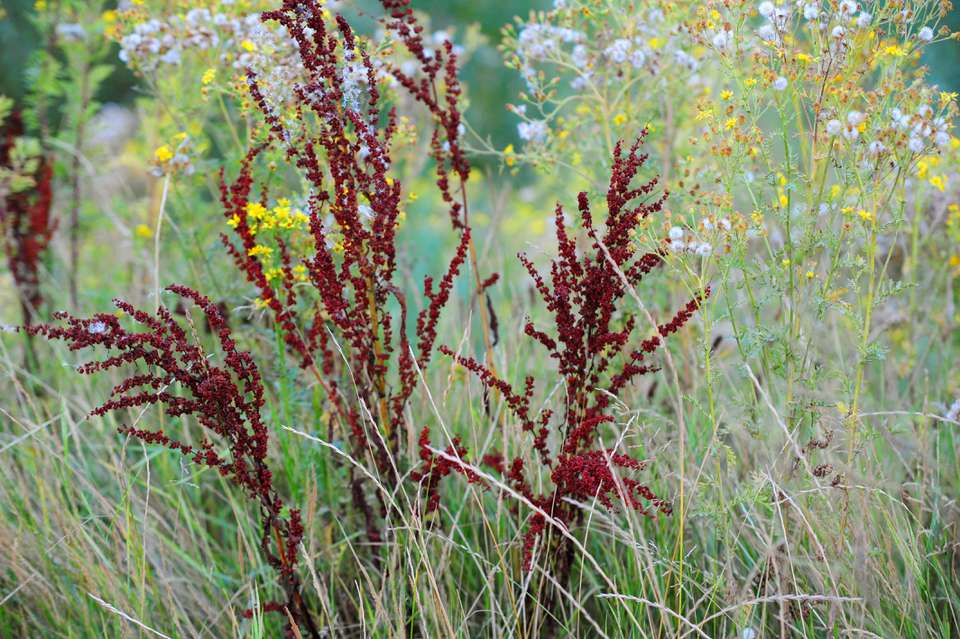 Yellow dock plants with long, red, skinny flower stalk clusters next to white and yellow wildflowers