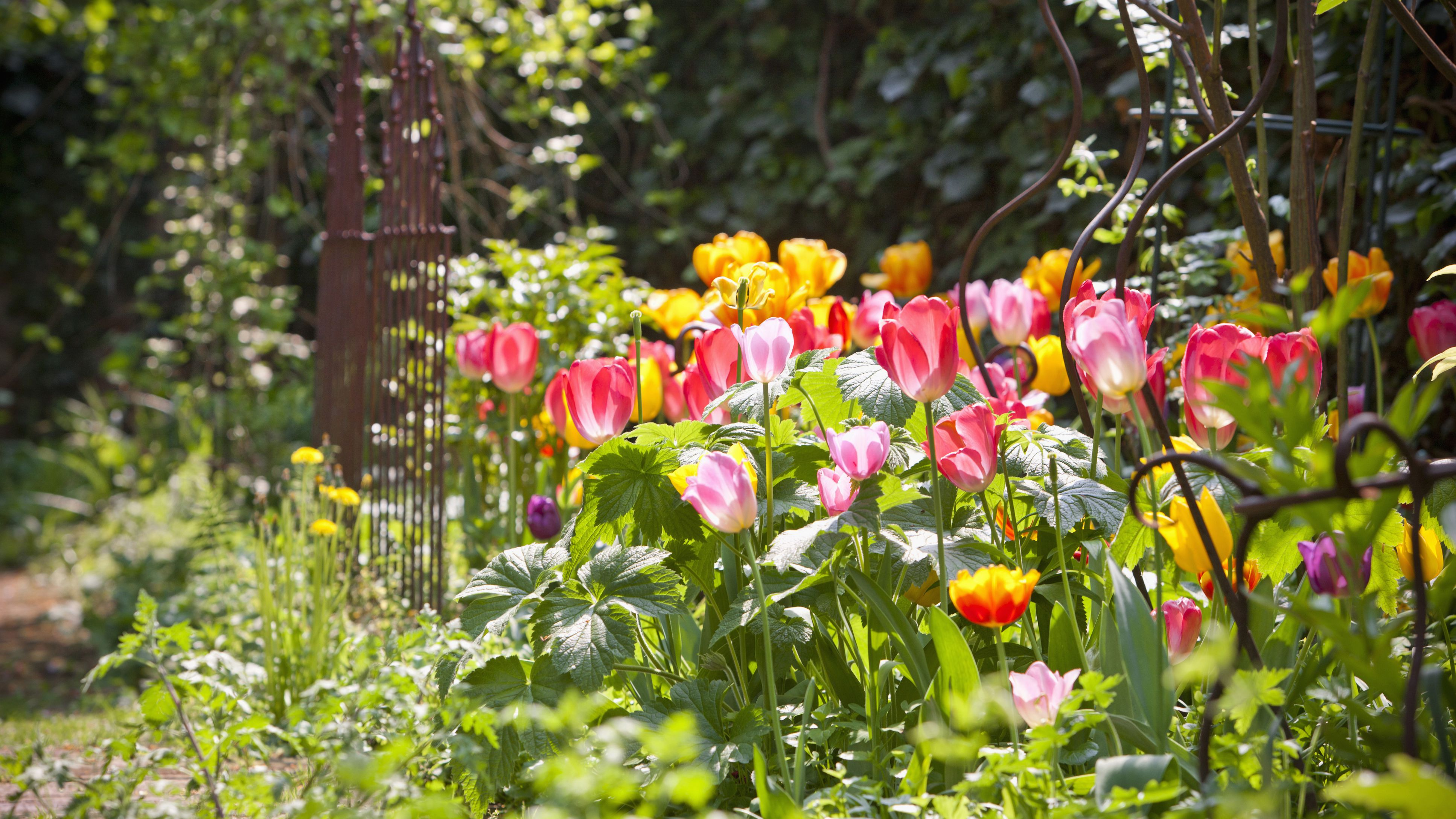 How To Grow And Care For Perennial Tulips