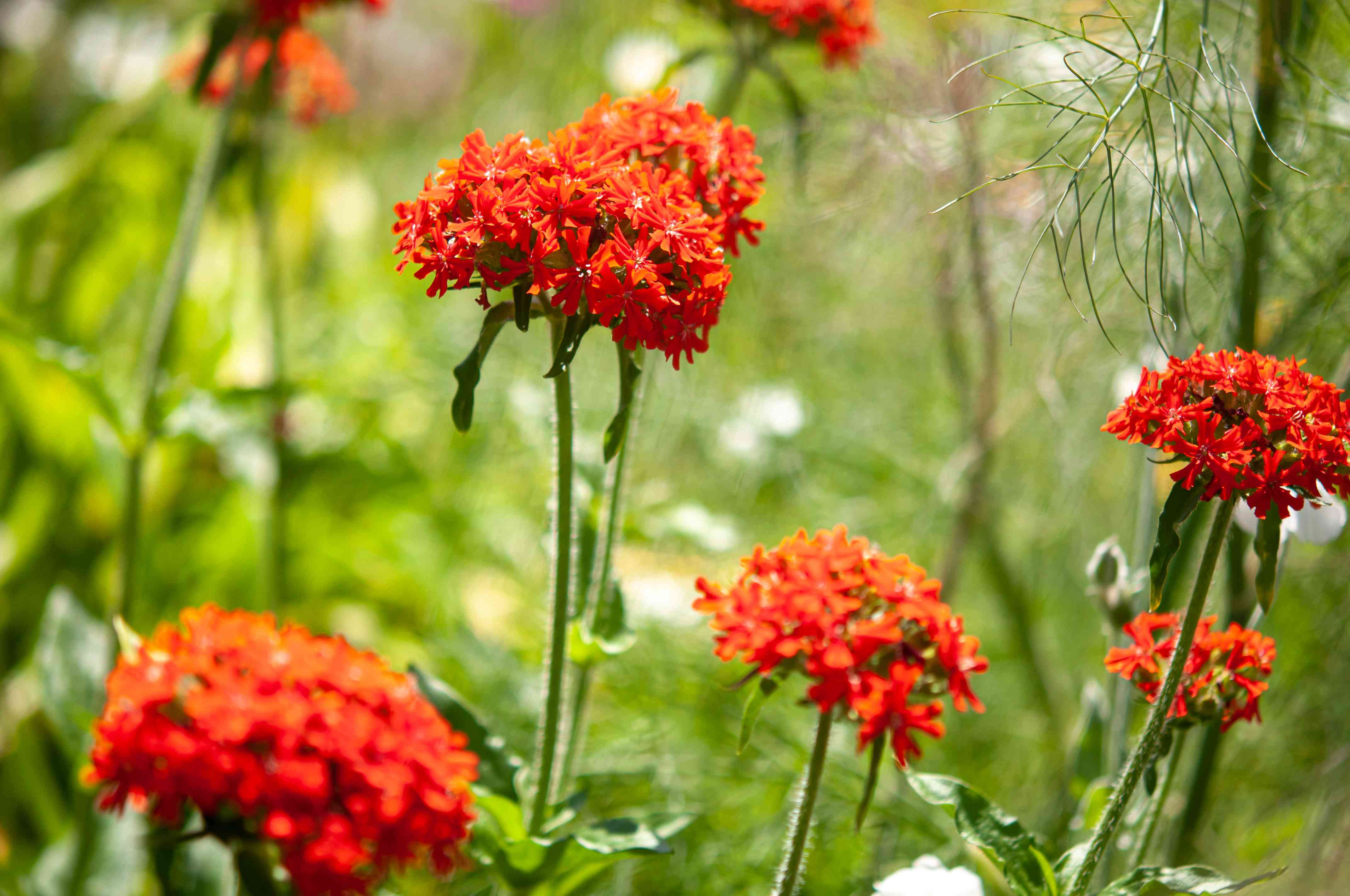 Maltese cross plants with orange-red flower clusters on single stems