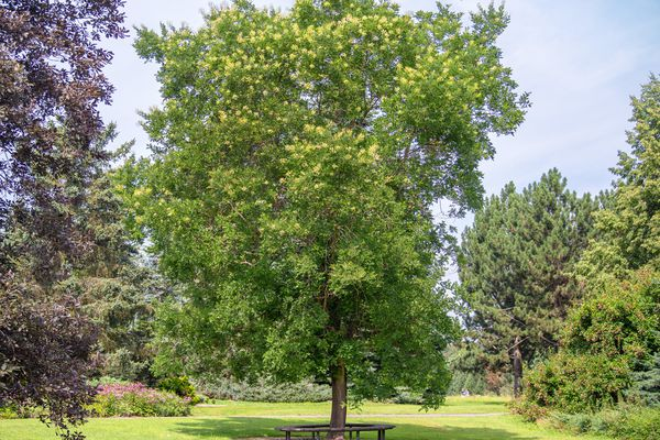 Japanese pagoda tree in middle of lawn with solitary trunk and bright green leaves