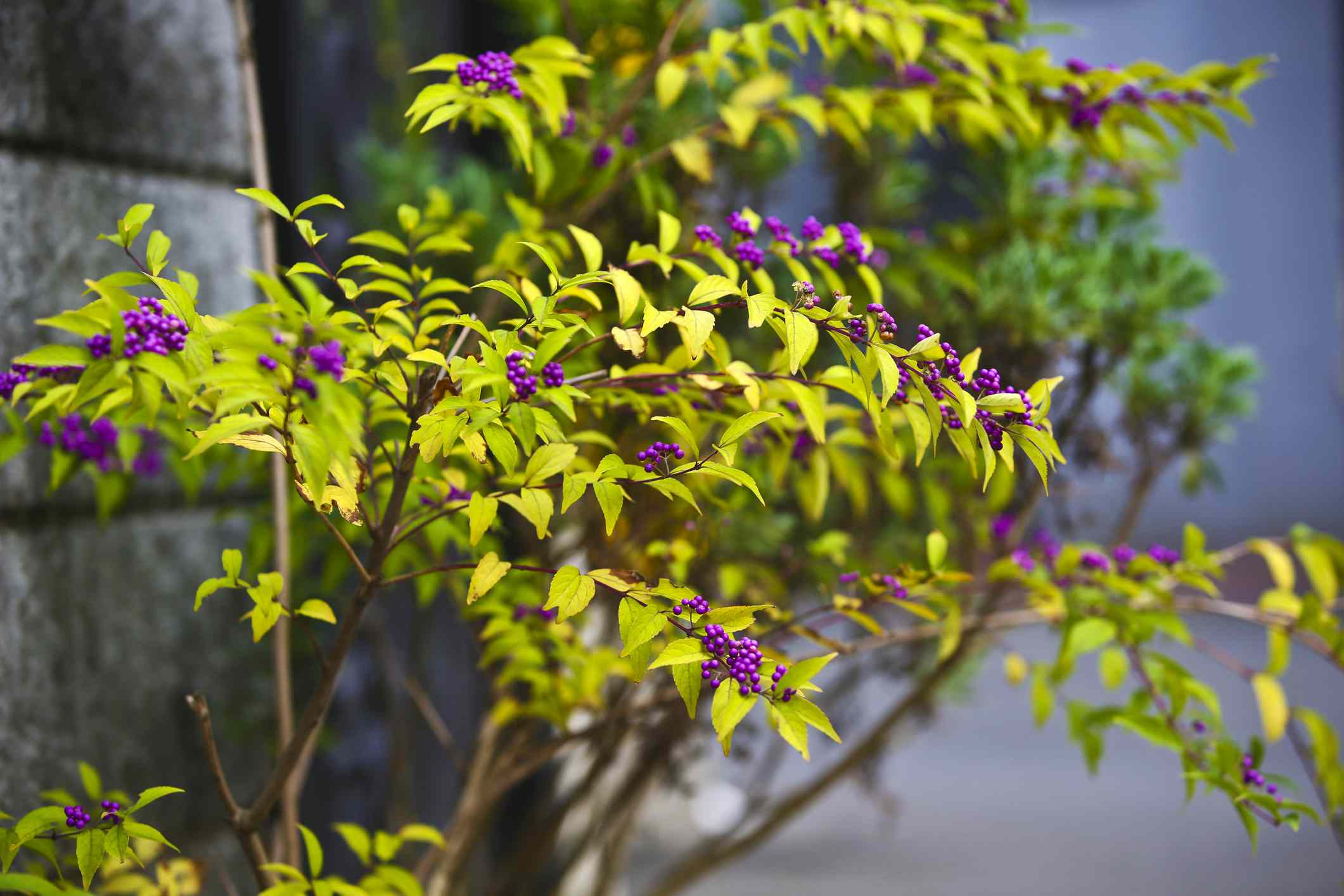 beautyberry shrub by a wall
