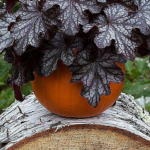 imagen de jardinería en macetas de plantas de cocodrilo y hojas de loto gigantes en los jardines Sara P. Duke
