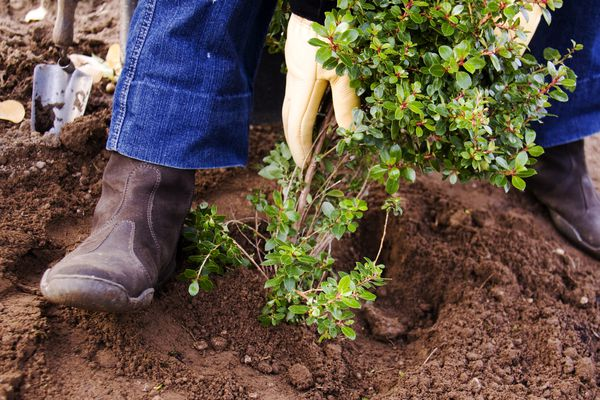 person planting shrub