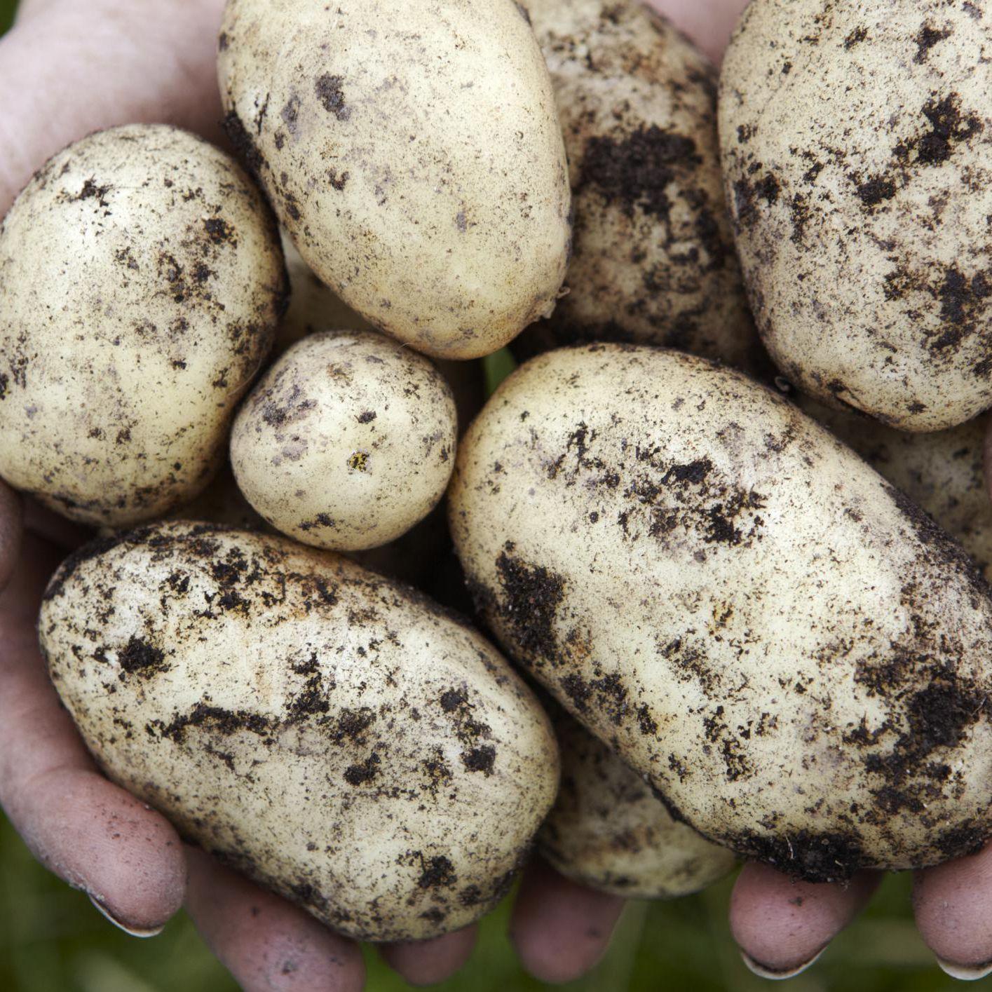 Potato Plant Profile