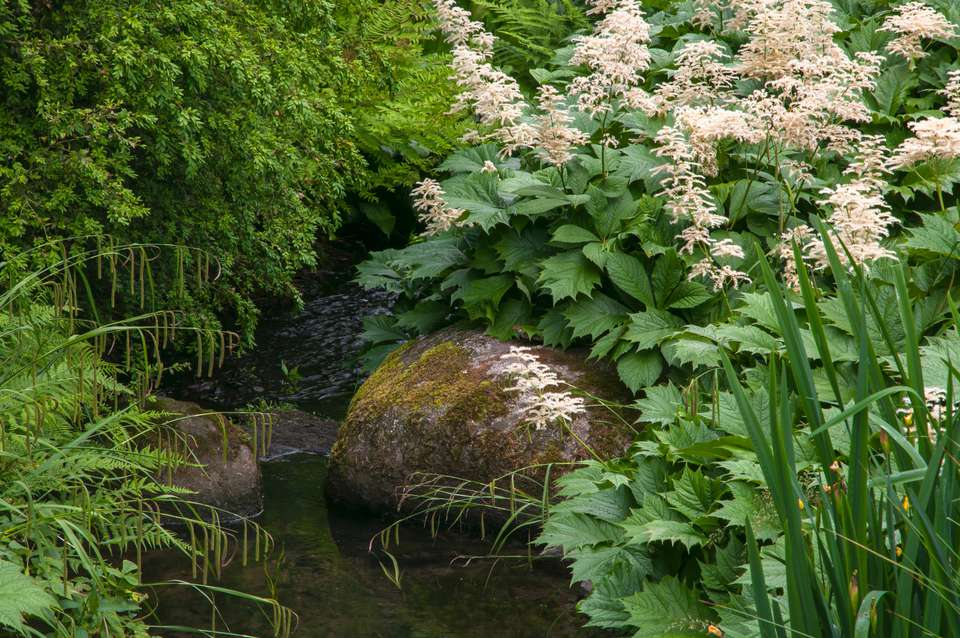 Rodgers flower with large leaves and showy light pink plumes near a small pond