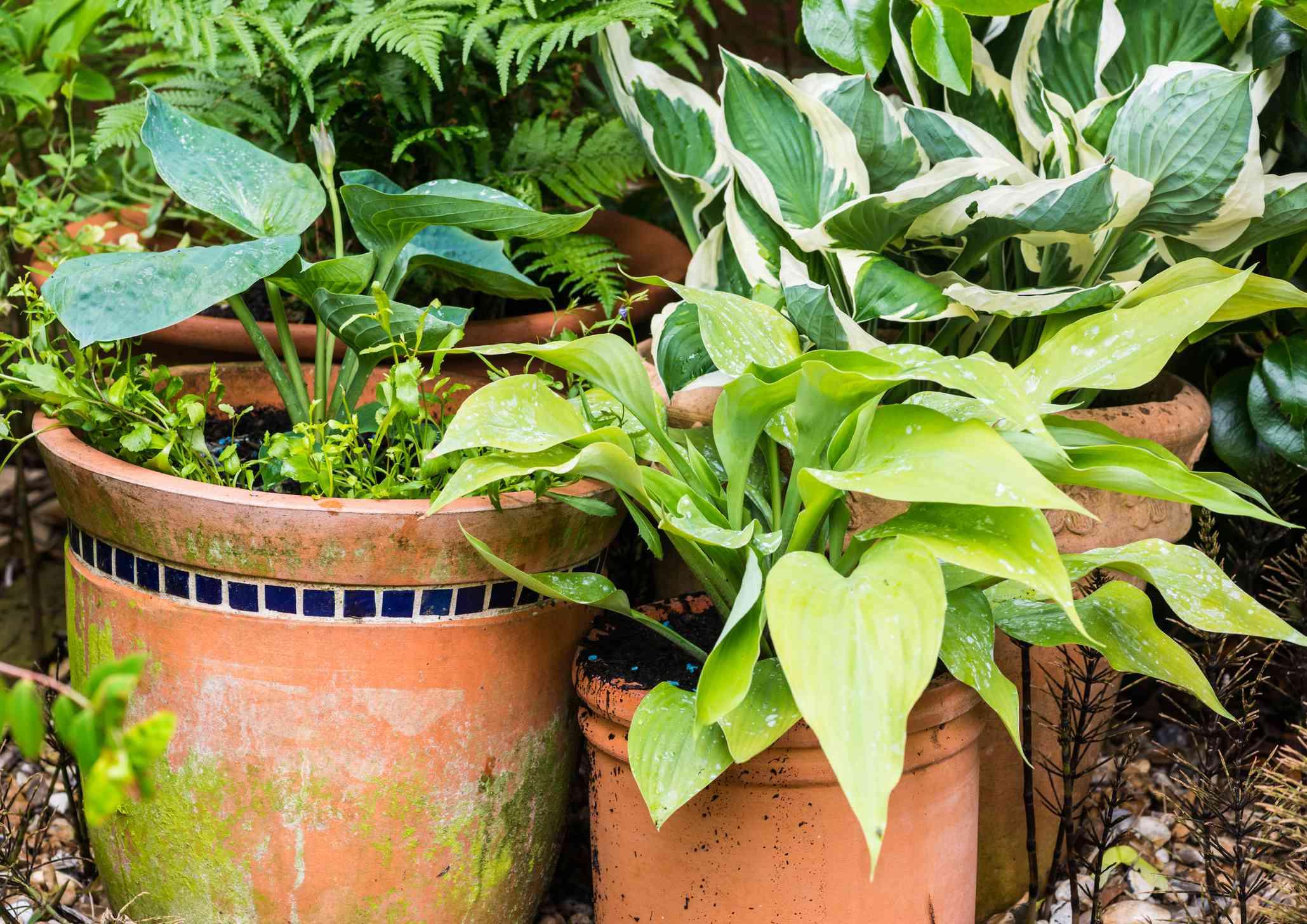 A shot of some hosta plants in terracotta pots.
