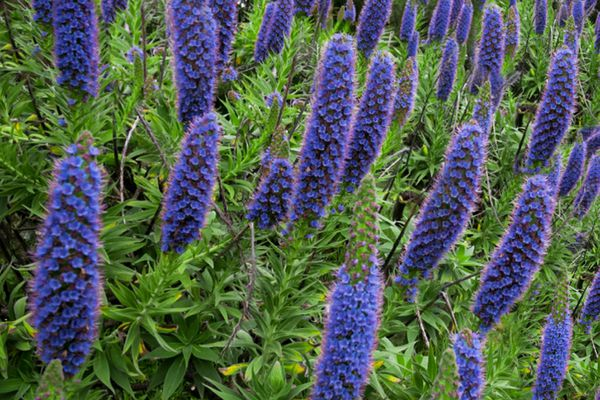 Pride of Madeira shrub with purple cone-shaped flower panicles on spiky leaves