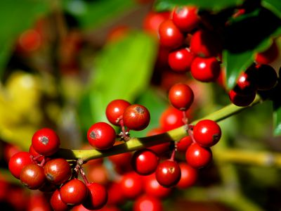 Nellie R  Stevens Holly Shrubs: Growing Tips, Uses