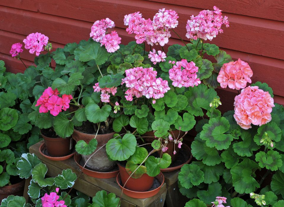 Pink geraniums (Pelargonium zonale) in mixed pots, July