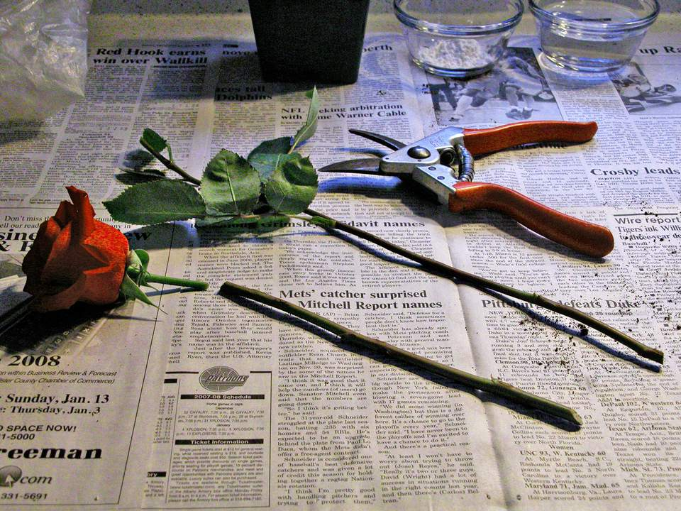 Pruning sheers and a rose cutting