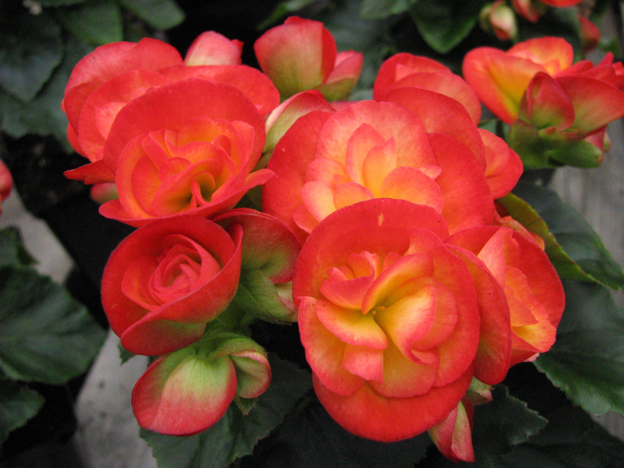 How To Grow Flowering Begonias In Winter