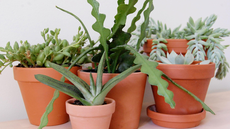 9 Varieties Of Succulent Plants For Indoor Growing