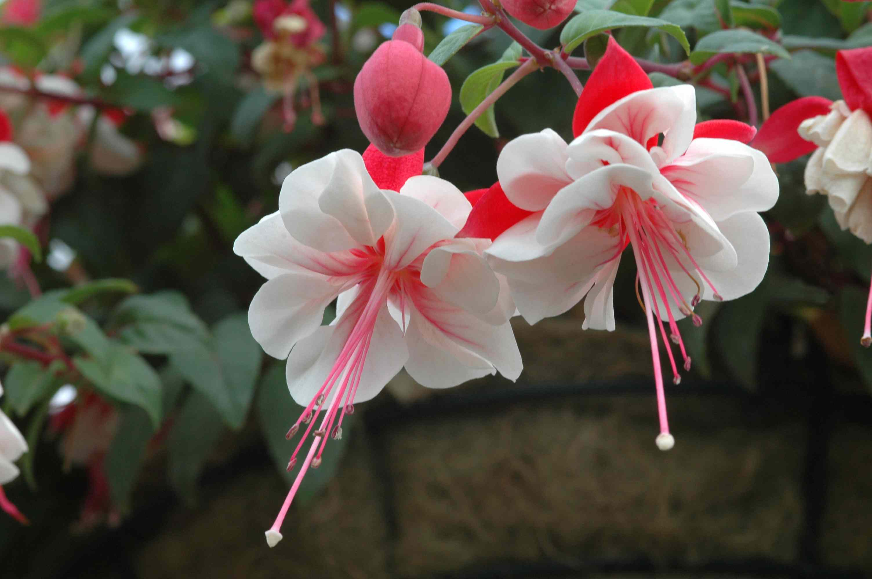 'Swingtime' fuchsia with white and red blooms