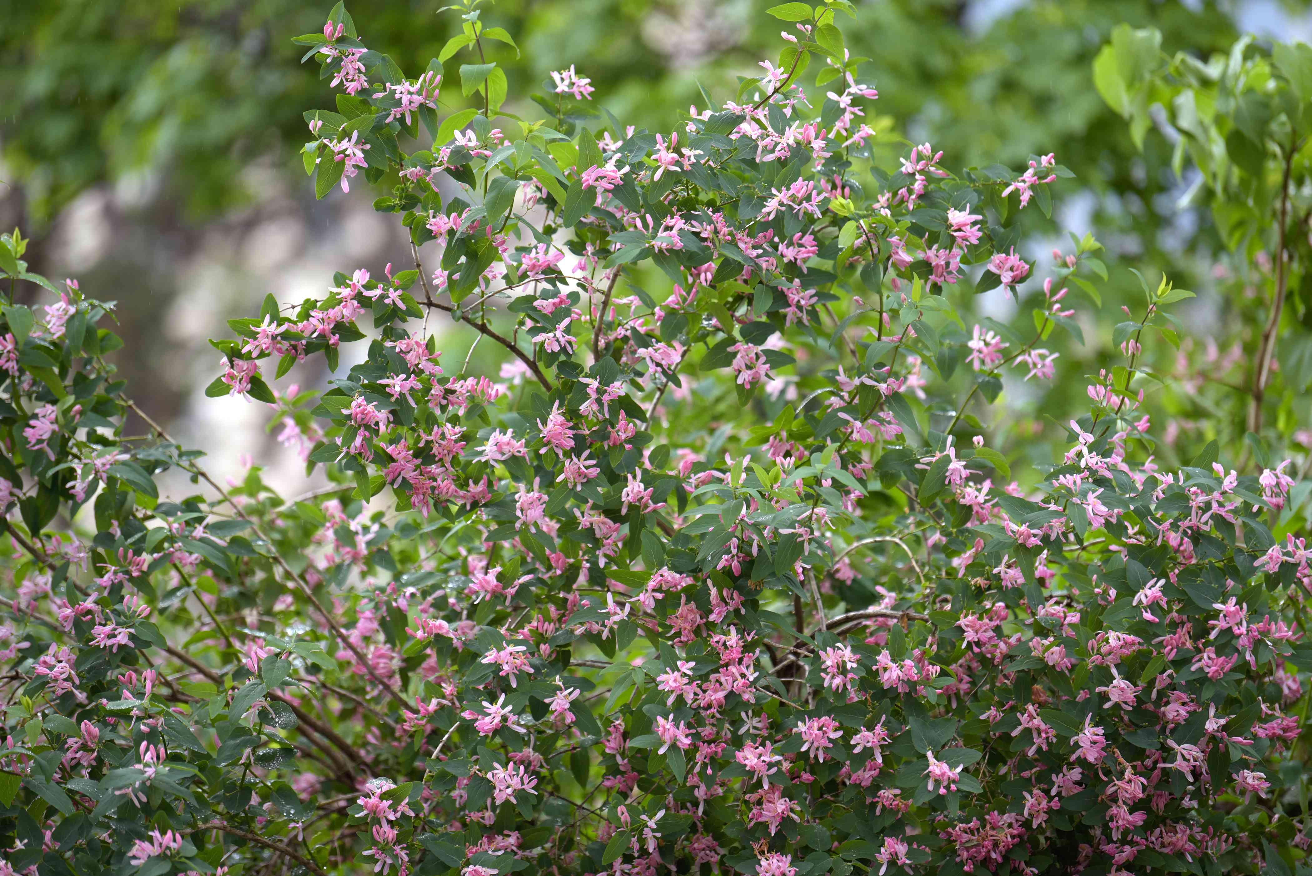 Bush honeysuckle shrub with small pink flowers
