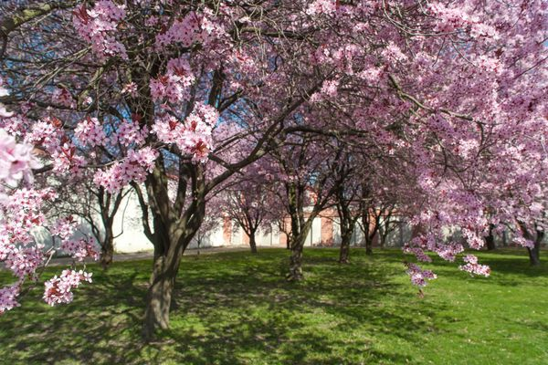 Purple leaf plum trees in landscape with pink flowers