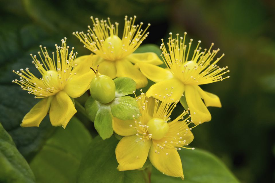10 best shrubs with yellow flowers closeup of cluster of yellow flowers on hypericum hidcote shrub mightylinksfo