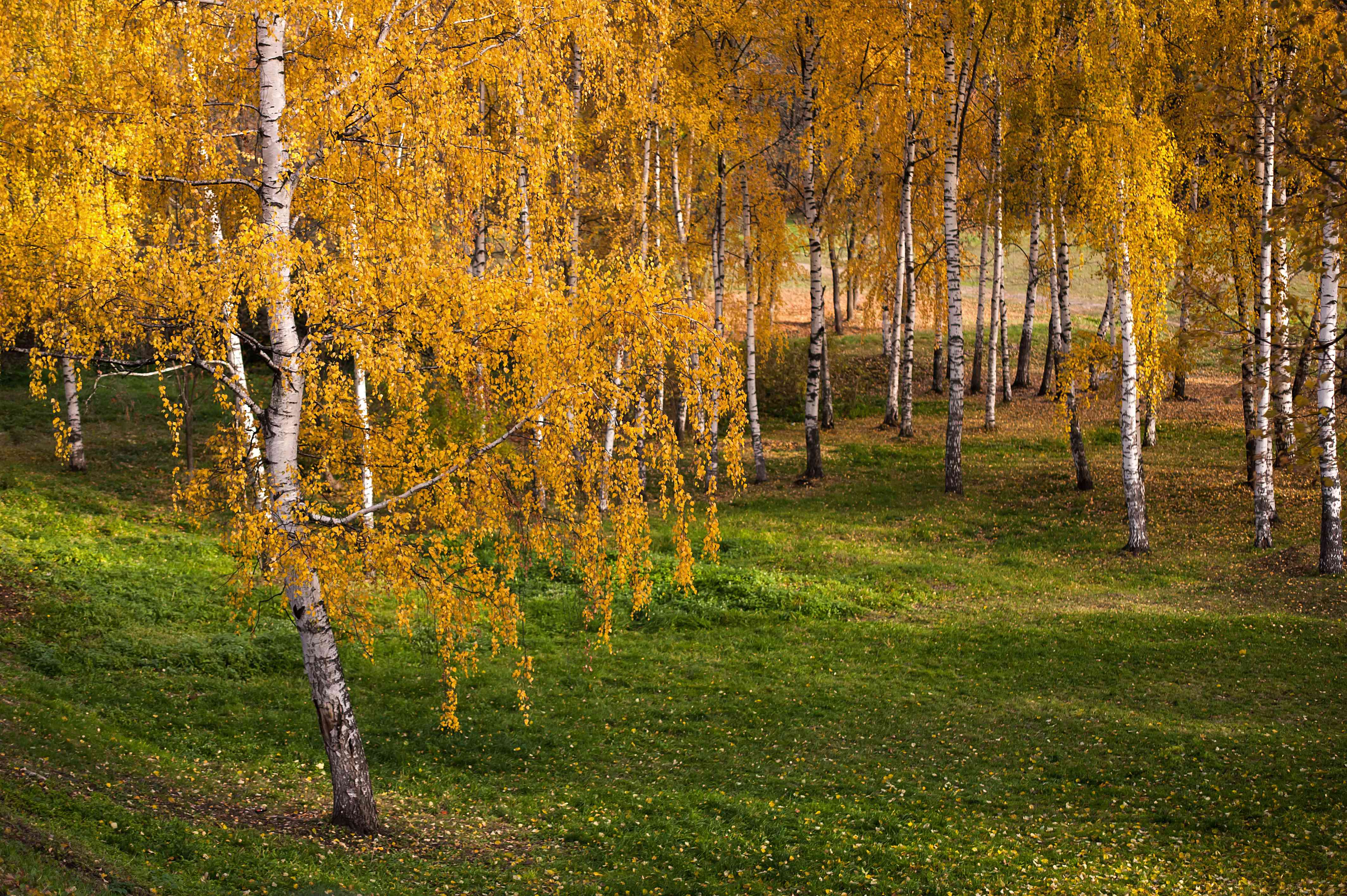 Silver birth trees with yellow drooping leaves in green meadow