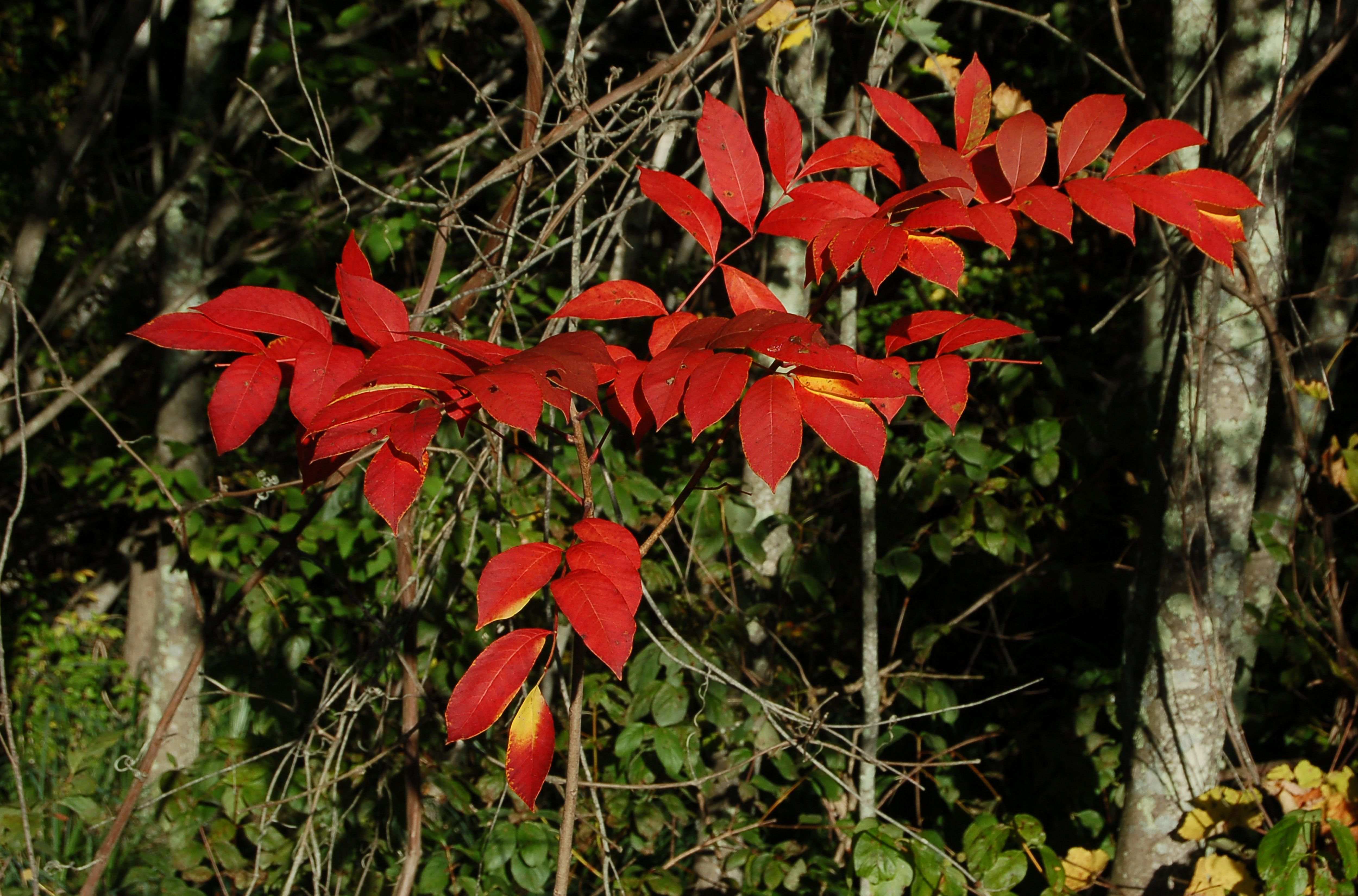 Poison sumac's fall foliage in red.