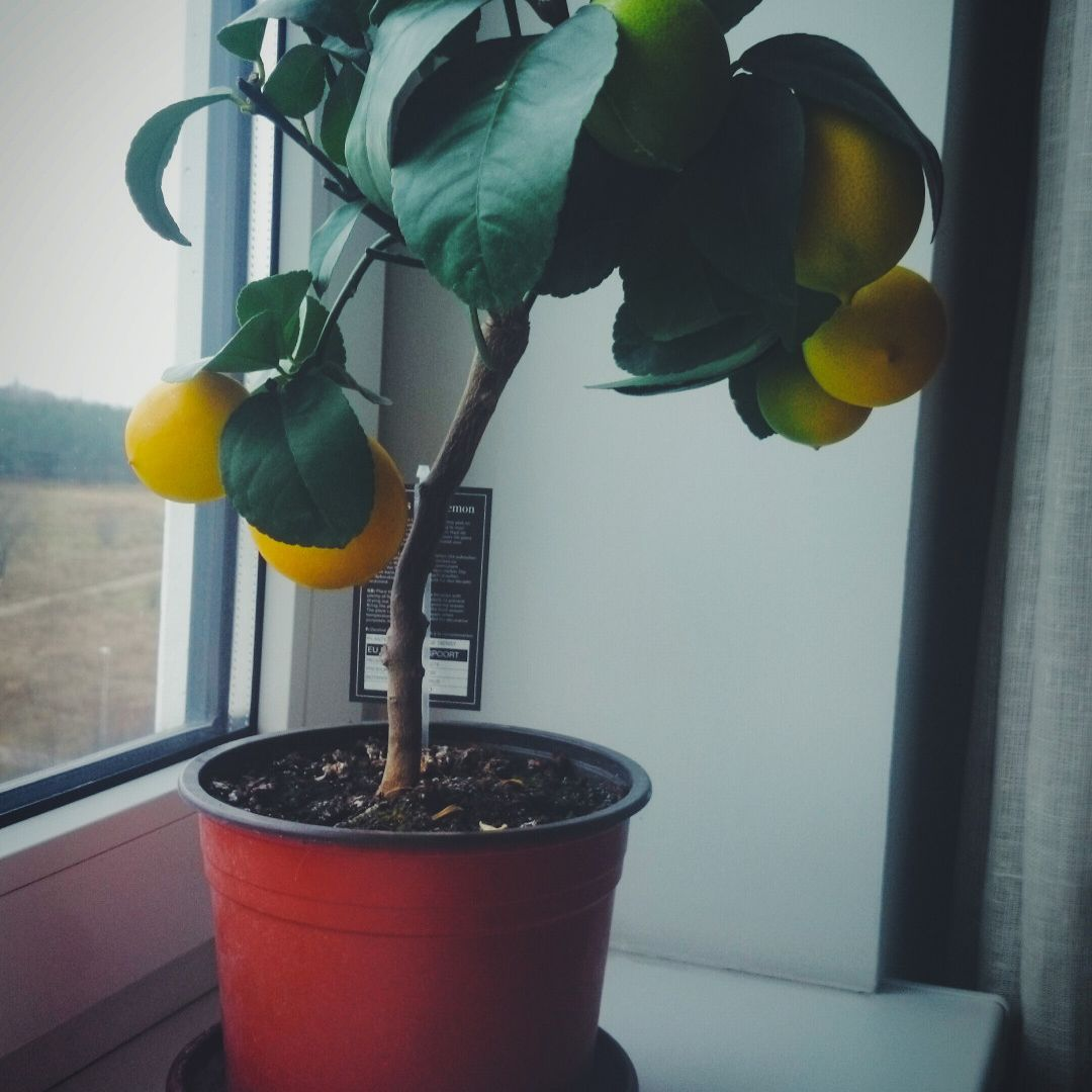 Lemon Tree Grown Indoors