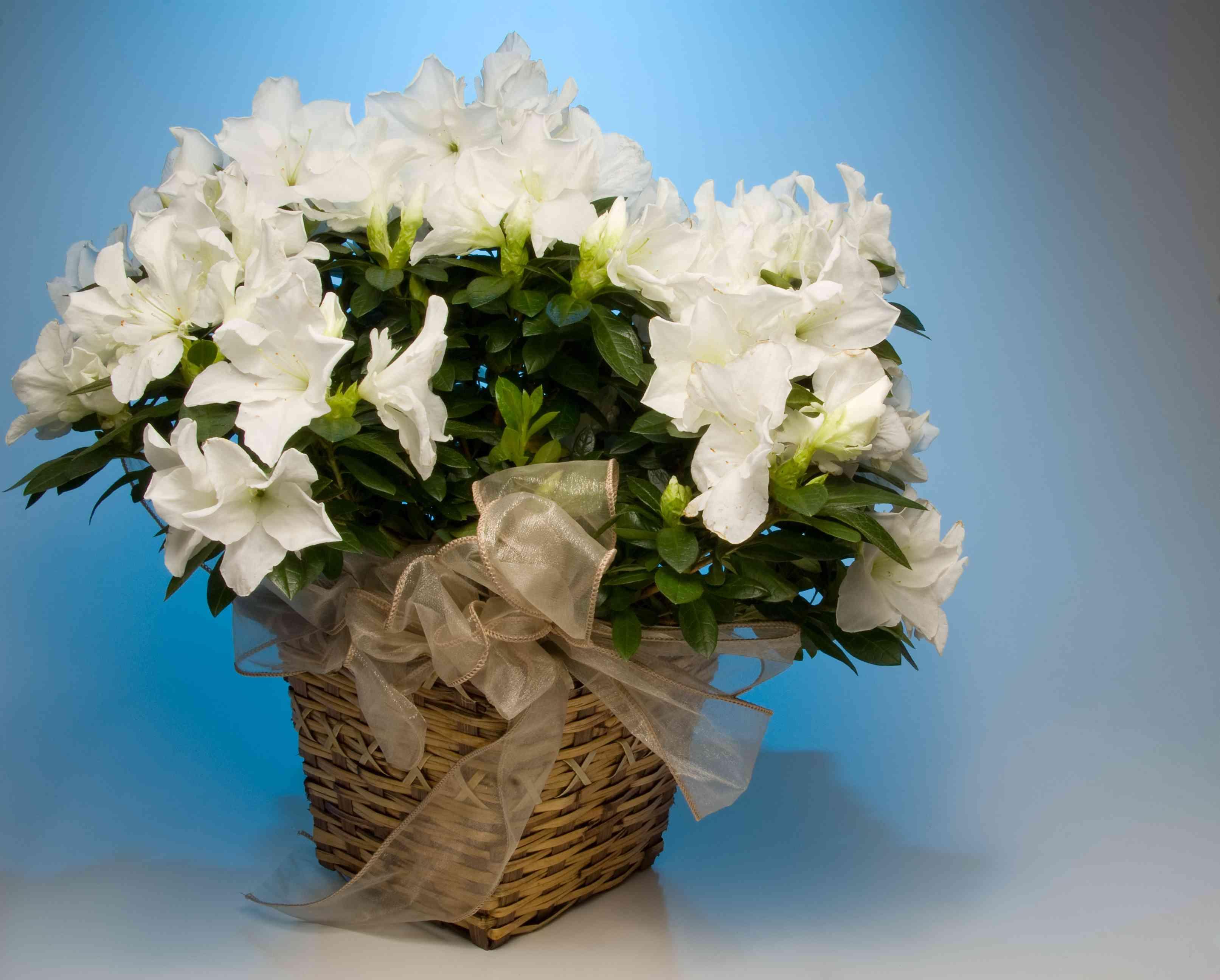 Florist Azalea
