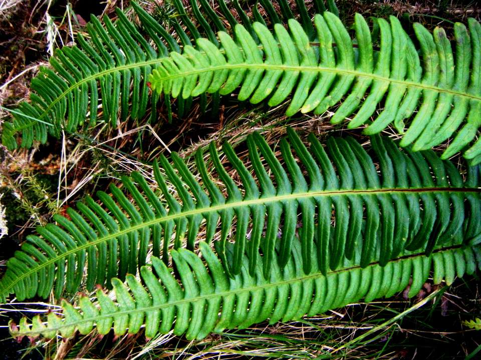 A close-up of blechnum spicant