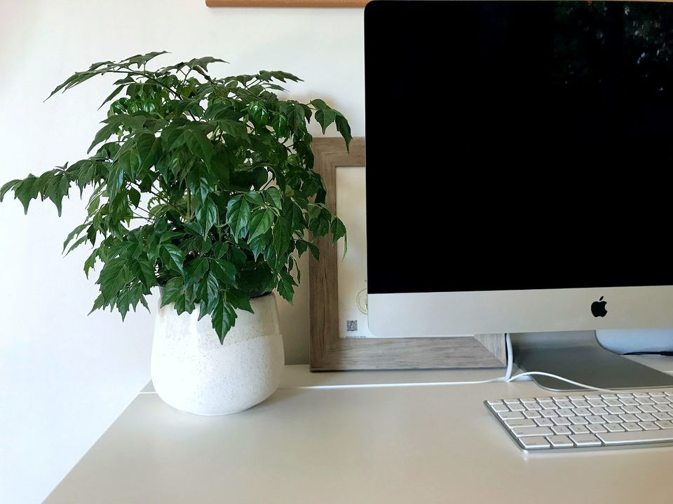 A China Doll Plant sits in a white pot on a white desk next to an iMac desktop.