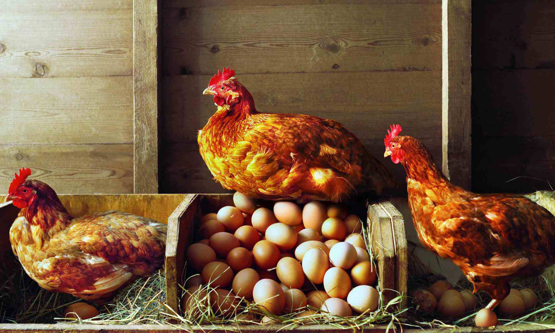 A set of hens on piles of eggs