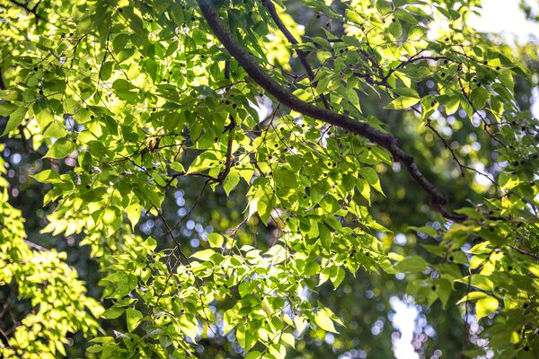 Hackberry tree branch with sprawling green leaves under sunlight