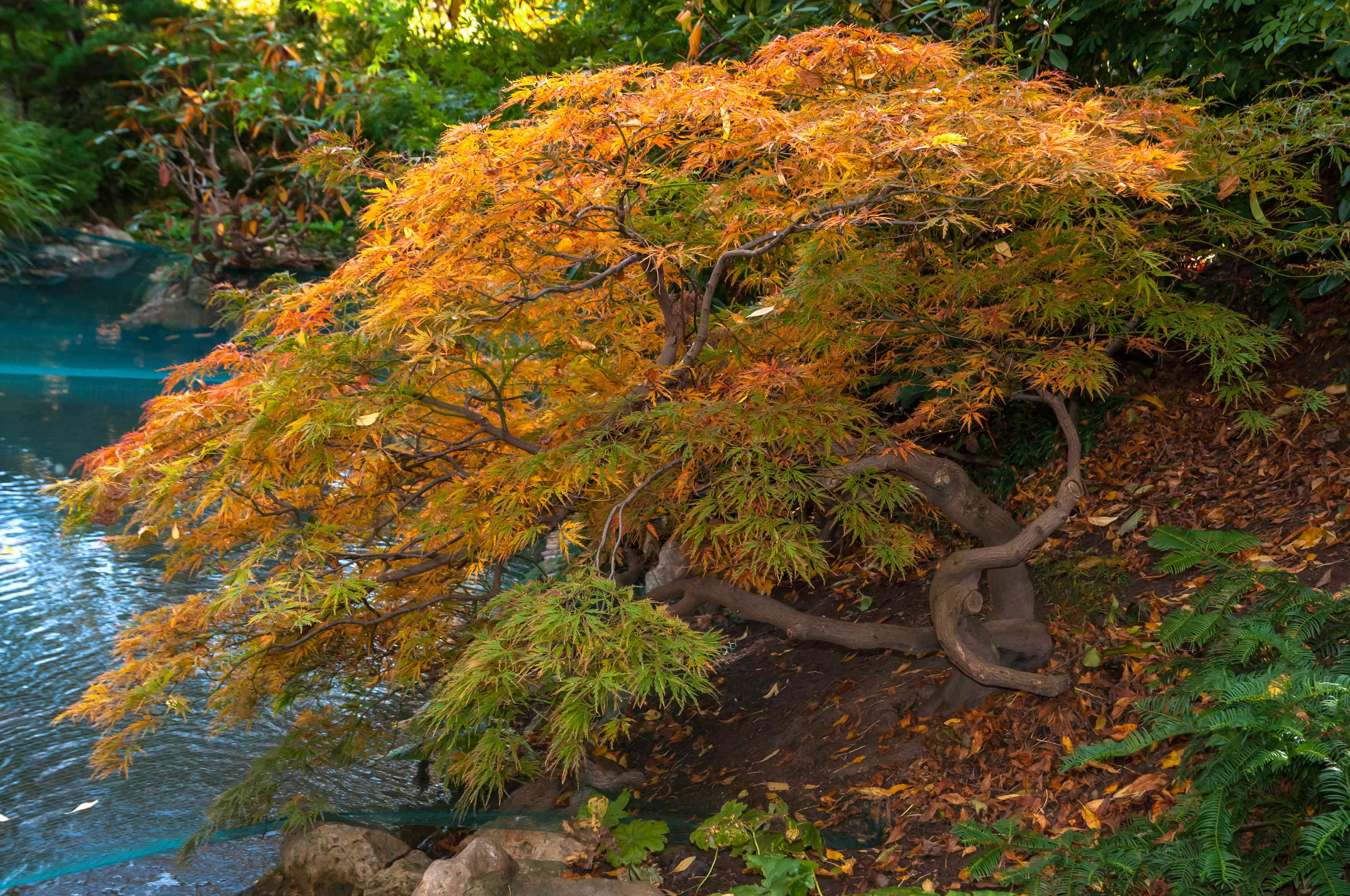Japanese maple dwarf tree with bright orange leaves and a twisted trunk near a pond