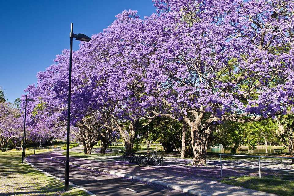 Flowering Jacaranda trees