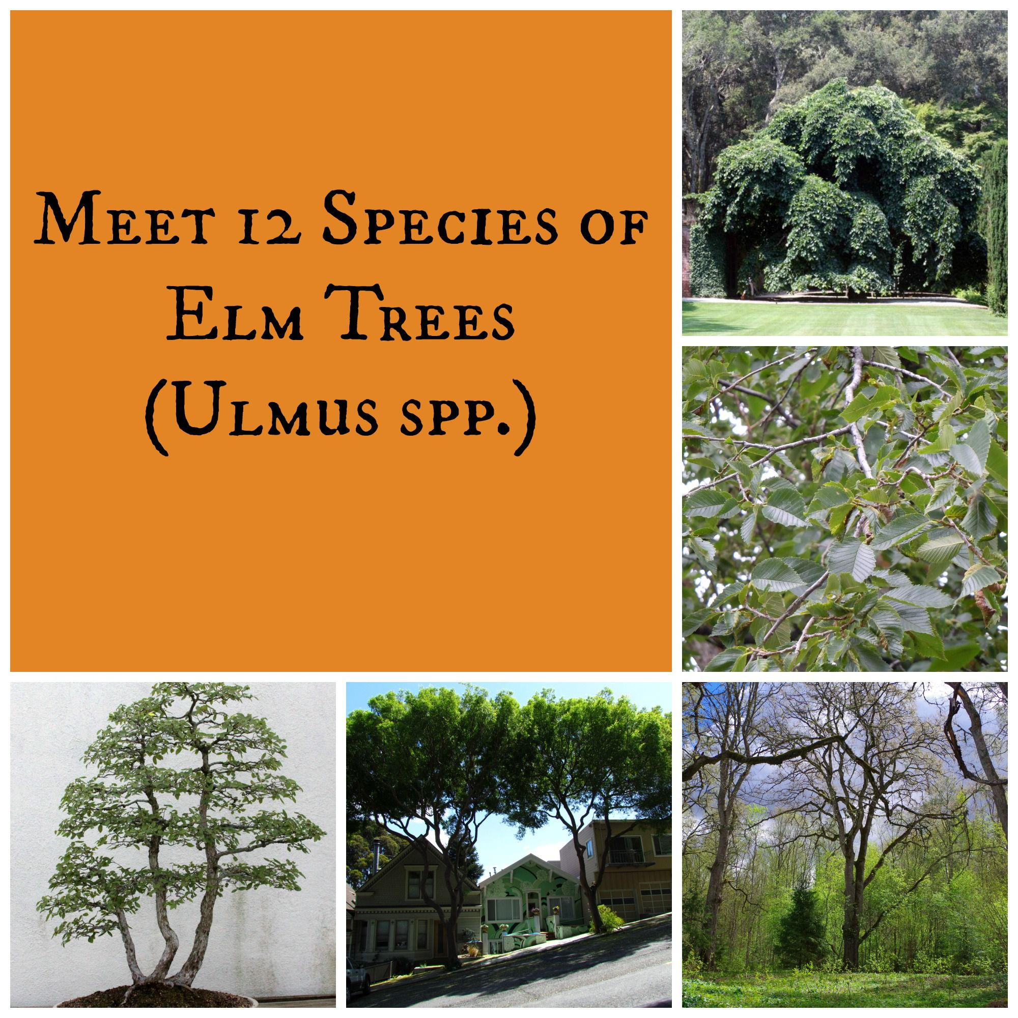 Elm Trees Collage
