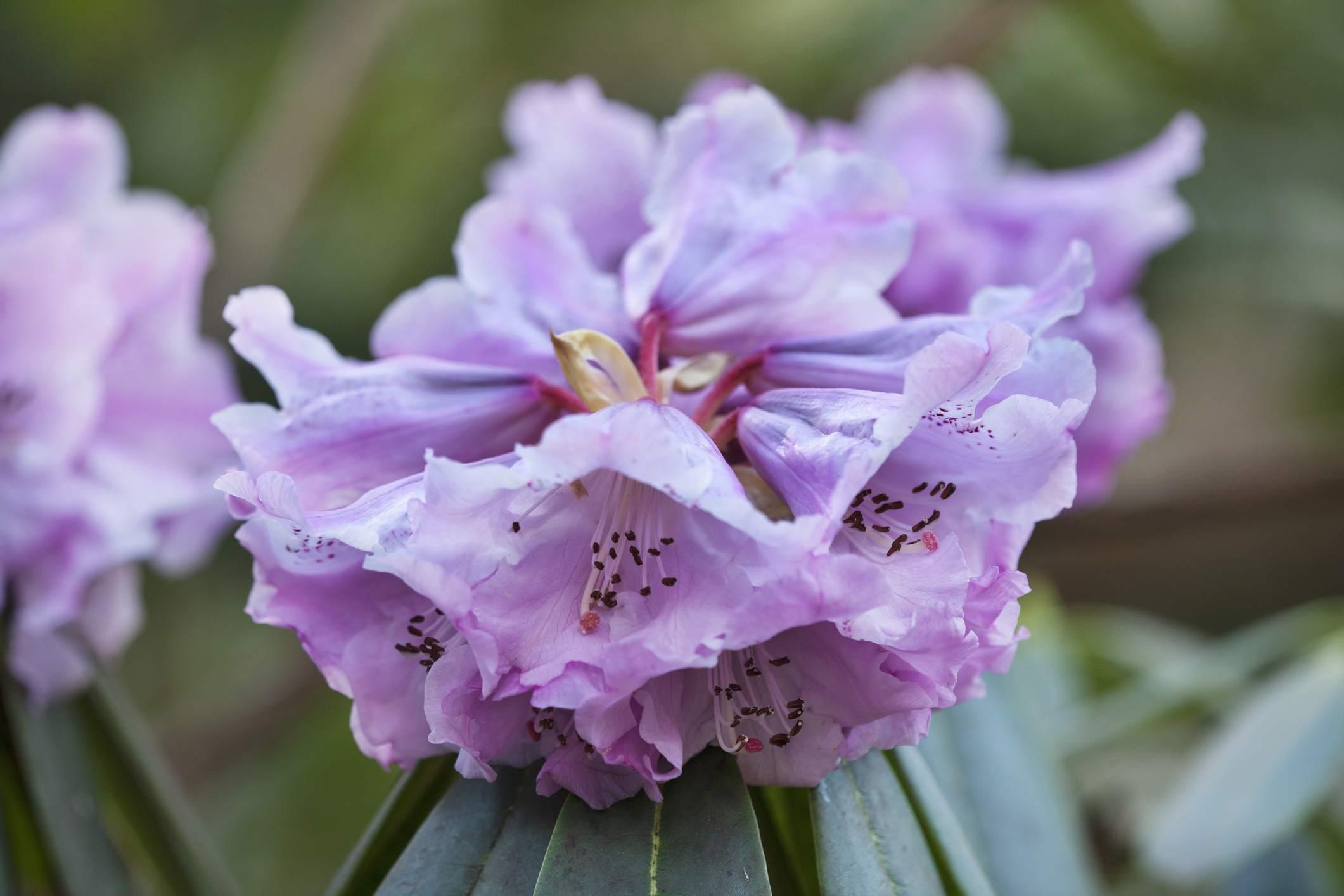 arbusto de rododendro en flor con flores de lavanda