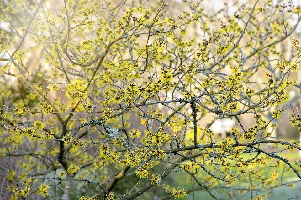 Witch hazel (Hamamelis virginiana) in bloom