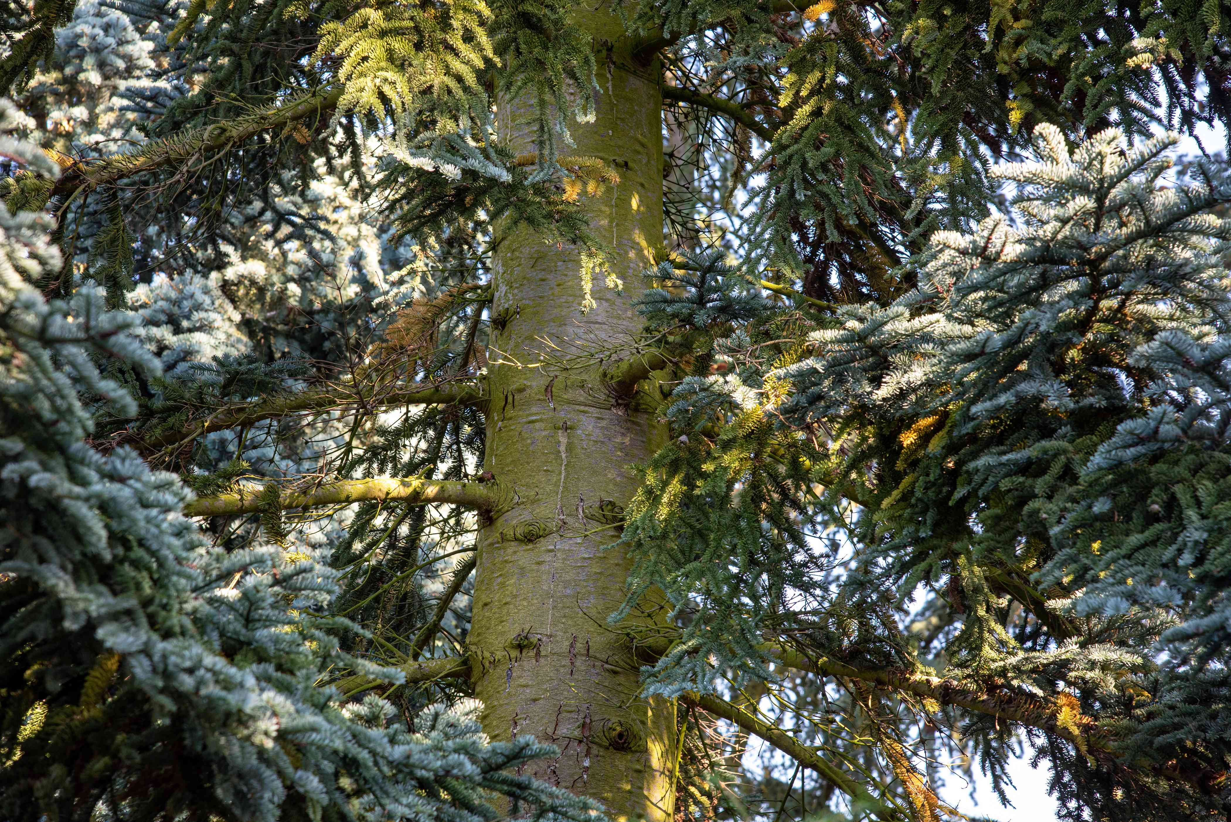 Noble fir tree trunk with silvery-green bark surrounded by needled branches