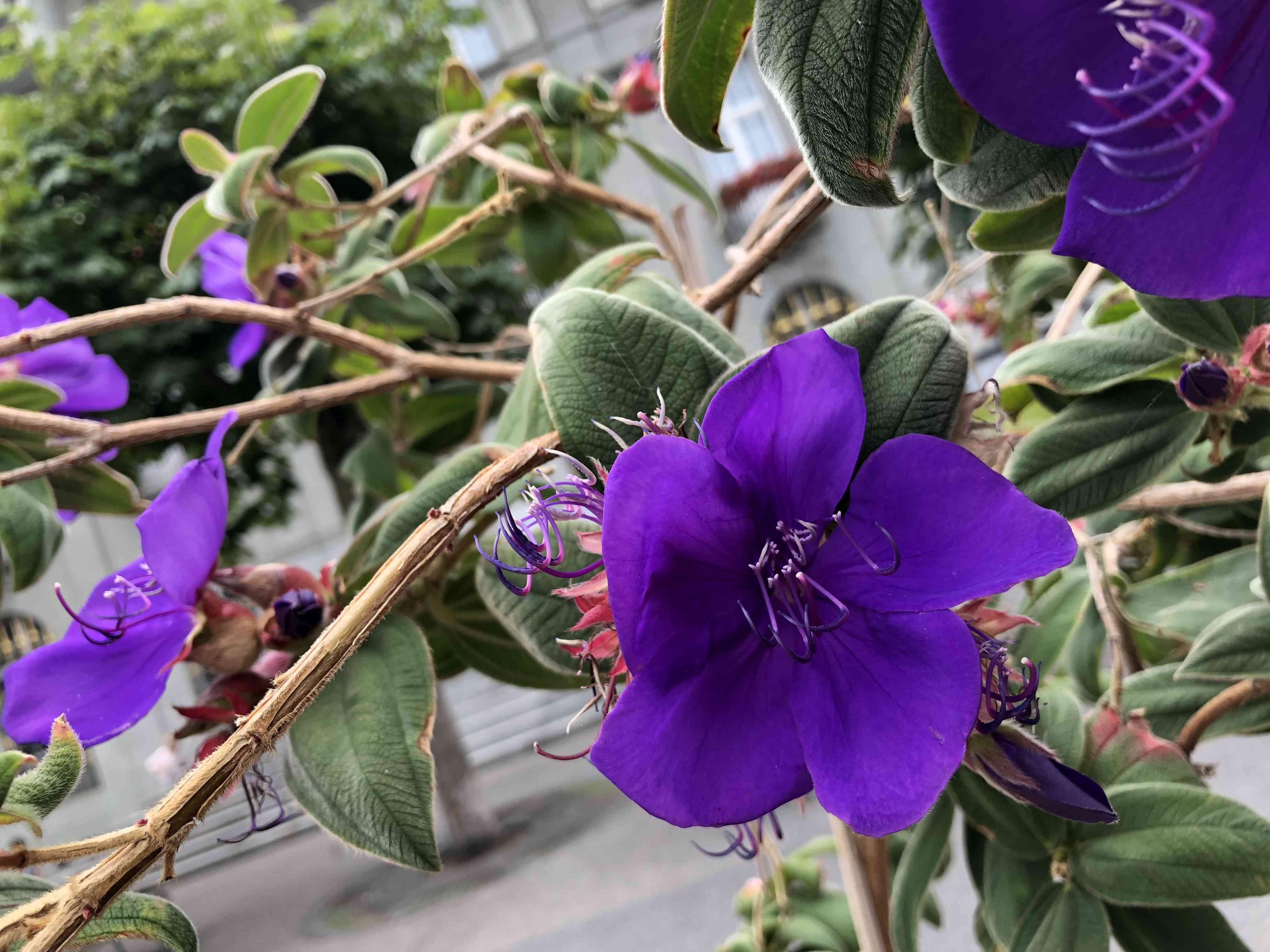 Close-up of a Tibouchina urvilleana flower