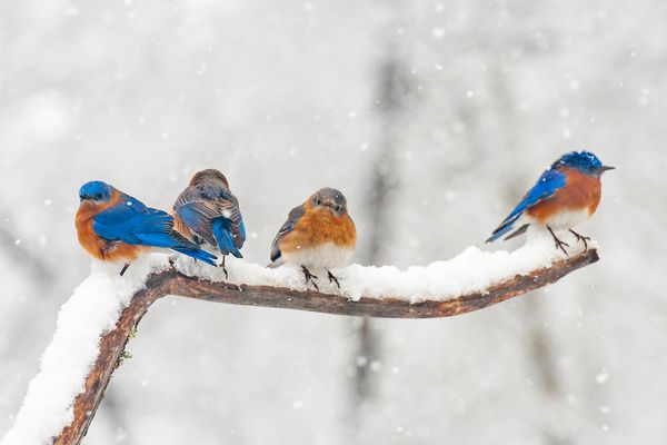 Bluebirds on Snowy Branch