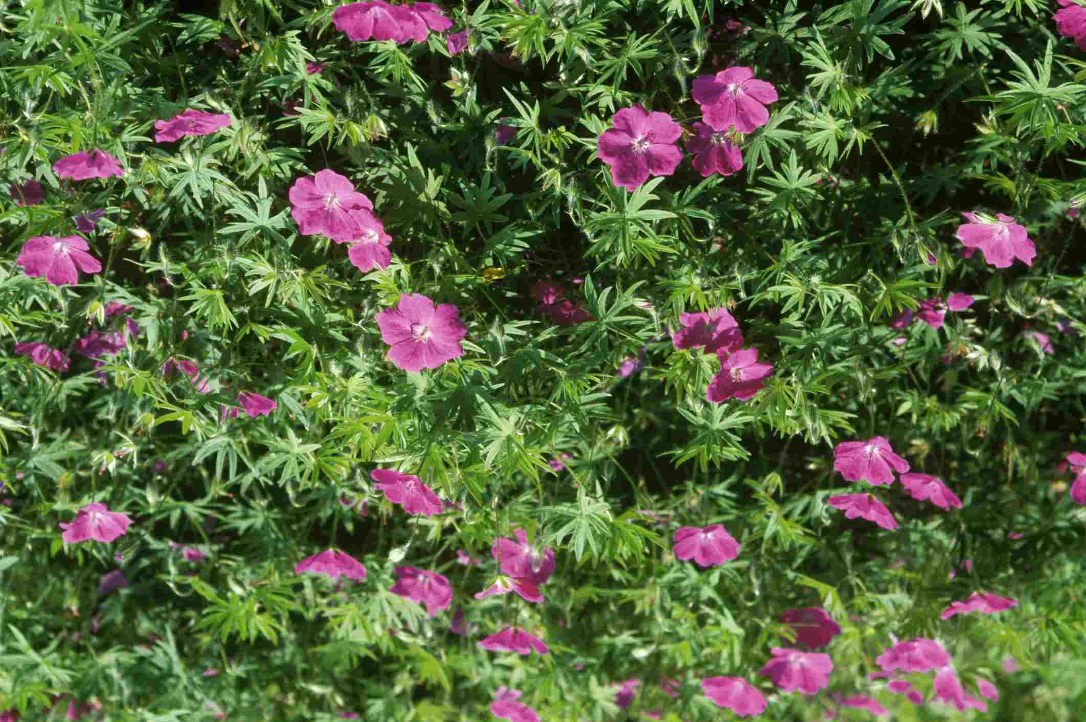 'Elsbeth' geraniums with magenta flowers