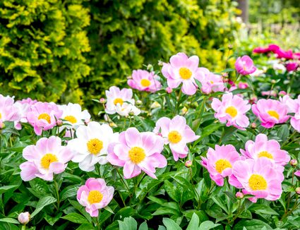 Peony flowers with light pink and white petals surrounding yellow centers in garden