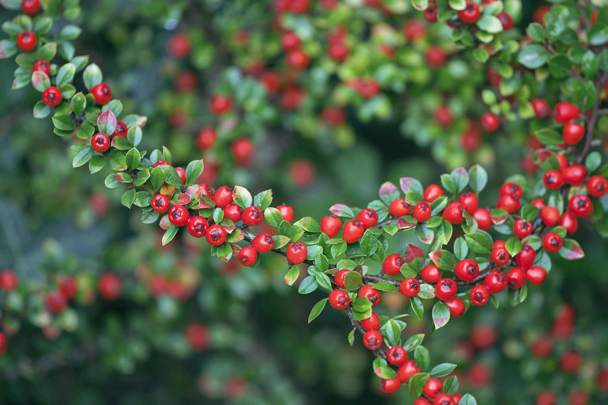 Berries of Cotoneaster x suecicus 'Coral-Beauty.'