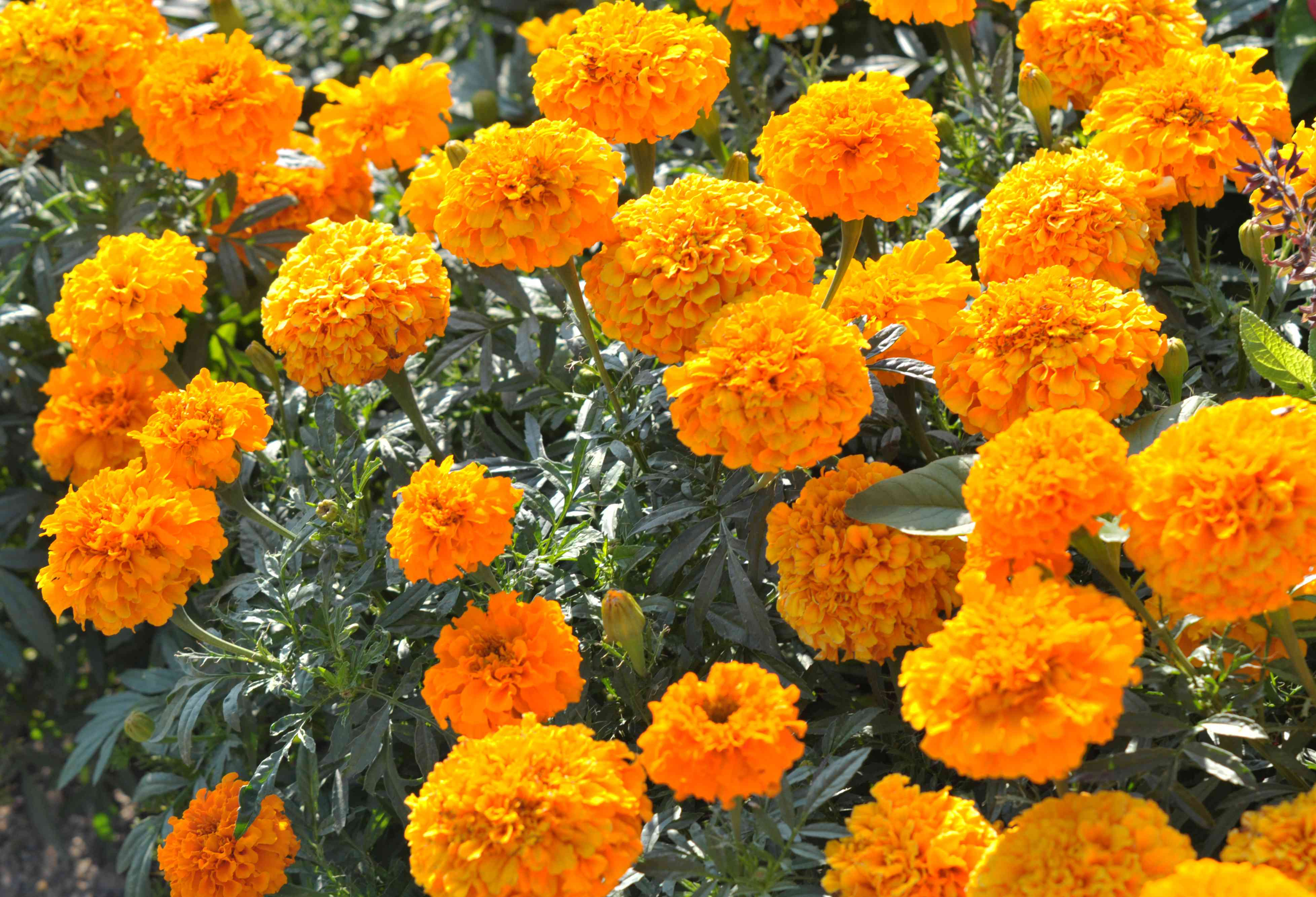 African marigold flowers with orange fluffy clustered petals